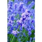 Lavender Melissa Lilac x 5 plants