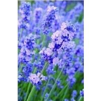 Lavender Melissa Lilac x 1 litre pot