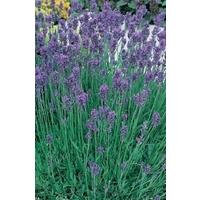 Lavender Munstead Blue x 5 young plants