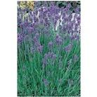 Lavender Munstead Blue x 1 litre pot