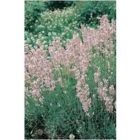 Lavender Rosea x 5 jumbo plug plants
