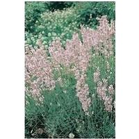Lavender Rosea x 1 litre pot