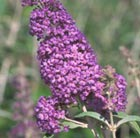 Buddleja 'Lochinch' (butterfly bush)