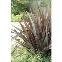 Phormium (New Zealand Flax) Purpurea x 1 litre pot