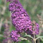 Buddleja 'Lochinch' (butterfly bush)