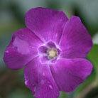 Vinca minor 'Atropurpurea' (lesser periwinkle)
