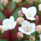 Viburnum tinus (laurustinus)