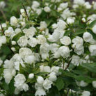 Philadelphus 'Manteau d'Hermine' (mock orange)