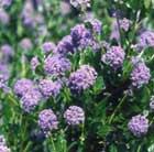Ceanothus 'Autumnal Blue' (Californian lilac)