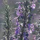 Rosmarinus officinalis 'Miss Jessopp's Upright' (rosemary)