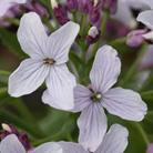 Lunaria rediviva (perennial honesty)