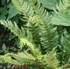 Polystichum aculeatum (hard shield fern)