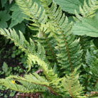 Polystichum aculeatum (hard shield fern)