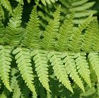 Dryopteris filix mas (male fern)