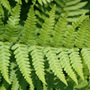 Dryopteris filix mas (male fern)