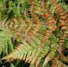 Dryopteris erythrosora (buckler fern)