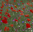 Poppy field collection of annuals (poppy field collection)