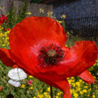 Papaver rhoeas (field poppy)