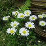 Leucanthemum vulgare (ox eye daisy)