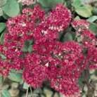 Sedum 'Ruby Glow' (stonecrop)