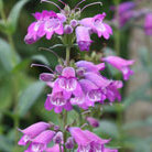 Penstemon 'Sour Grapes' (beard tongue)