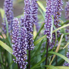 Liriope muscari (big blue lily turf)