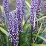 Liriope muscari (big blue lily turf)