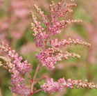 Astilbe 'Bressingham Beauty' (x arendsii) (false goatsbeard)