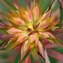 Euphorbia griffithii 'Fireglow' (spurge)