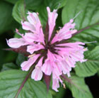 Monarda 'Beauty of Cobham' (bergamot)