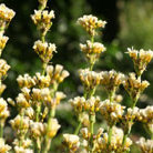Sisyrinchium striatum (sisyrinchium)