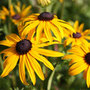 Rudbeckia fulgida var. sullivantii &#x27;Goldsturm&#x27; (black eyed susan)