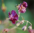 Geranium phaeum var. phaeum 'Samobor' (dusky cranesbill)