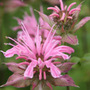 Monarda 'Croftway Pink' (bergamot)