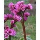 Bergenia cordifolia 'Purpurea'