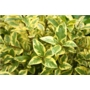 Ligustrum ovalifolium Aureum &#x27;Golden Privet&#x27;