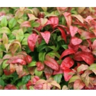 Nandina domestica 'Fire Power' AGM