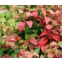 Nandina domestica Fire Power 'Heavenly Bamboo'