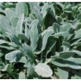 Stachys byzantina Silver Carpet 'lamb's ears'