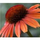 Echinacea 'Sundown'