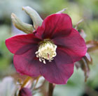 Helleborus x hybridus Harvington red (Lenten rose hellebore)