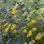 Achillea filipendulina 'Cloth of Gold' (yarrow)