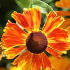Helenium 'Waldtraut' (sneezeweed)