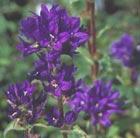 Campanula glomerata 'Superba' (clustered bellflower)