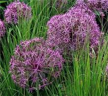 Allium 'Cristophii'