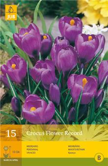 Crocus 'Flower Record'