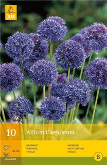 Allium caeruleum | Bulb Packs