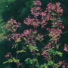 Thalictrum delavayi (meadow rue)
