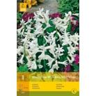 Hyacinth 'Multifora White'
