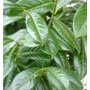 Prunus laurocerasus 'Cherry Laurel'
